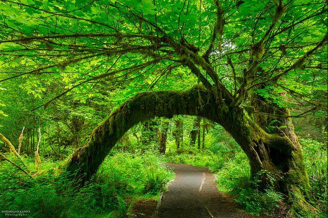 8f96c15d3cc146 Hoh-Rainforest.jpg