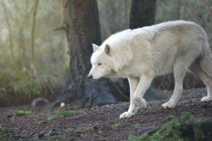 wolf NOLS