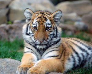 NOLS: Tiger World Endangered Wildlife Preserve @ Forks Library | Forks | Washington | United States